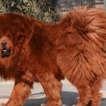 Red-Tibetan-Mastiff-Big-Splash