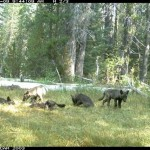 Grey Wolf pack in California